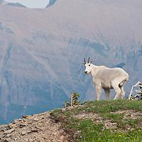 glacier national park, mountain goat summer