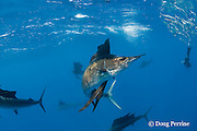 Atlantic sailfish, Istiophorus albicans, with bill that has been broken off short, attacking bait ball of Spanish sardines (aka gilt sardine, pilchard, or round sardinella ), Sardinella aurita, off Yucatan Peninsula, Mexico ( Caribbean Sea )