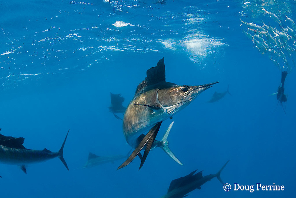 Atlantic sailfish, Istiophorus albicans, with bill that has been broken off short, attacking bait ball of Spanish sardines (aka gilt sardine, pilchard, or round sardinella ), Sardinella aurita, off Yucatan Peninsula, Mexico ( Caribbean Sea )