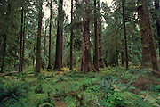 Hoh Rainforest, Olympic Peninsula, Washington<br />