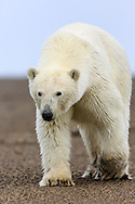 Polar bear (Ursus maritimus) walking on spit on Barter Island near Kaktovik in Arctic National Wildlife Refuge in the Far North of Alaska. Autumn. Afternoon.