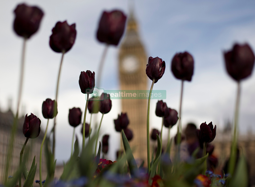 Elizabeth Tower seen in the background through tulips in Parliament Square, London.