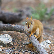 The small red, or pine, squirrel, Tamiasciurus hudsonicus, is found in the conifer forests of the Black Hills. Custer State Park is a state park and wildlife reserve in the Black Hills of southwestern South Dakota. A large herd of buffalos, American Bison, roams the park.<br />  The park is South Dakota's largest and first state park, named after Lt. Colonel George Armstrong Custer.   Photography by Jose More