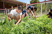 Manzo Elementary School students, Jose Nunez, 9, (left), Valeria Gaona, 8, Valeria Ortega, 8, and Sophie Gomez 7,  work in the school's organic garden, Tucson, Arizona, USA.  The school was the first in TUSD to be certified for garden to cafeteria food consumption and first in the state of Arizona for rainwater harvesting and composting. The  garden projects in the district work with internationally known Biosphere2 and the University of Arizona. The garden was built in conjunction with the National Park Foundation's First Bloom program. The project is supported in part by a USDA Farm-to-School grant.  Named Best Green School 2012 by the U.S. Green Building Council, Manzo is the only K-5 public school in the United States to receive that honor in response to their environmental initiatives.