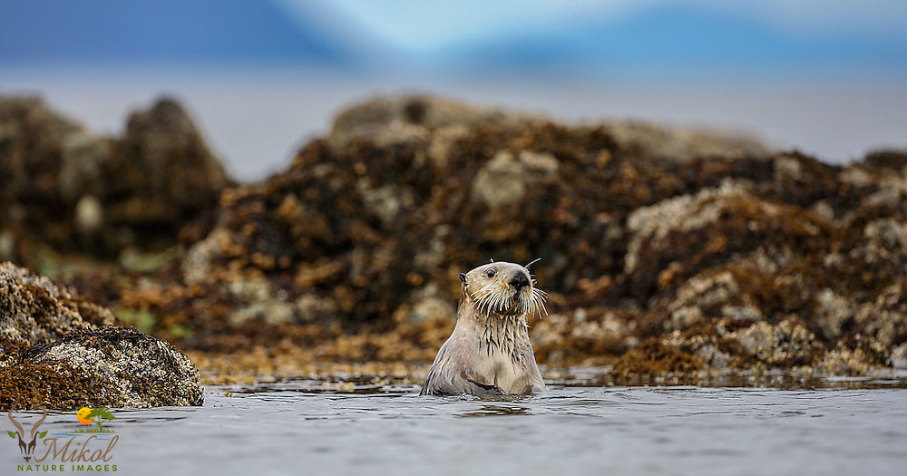 Sea otter upright in shallows looking