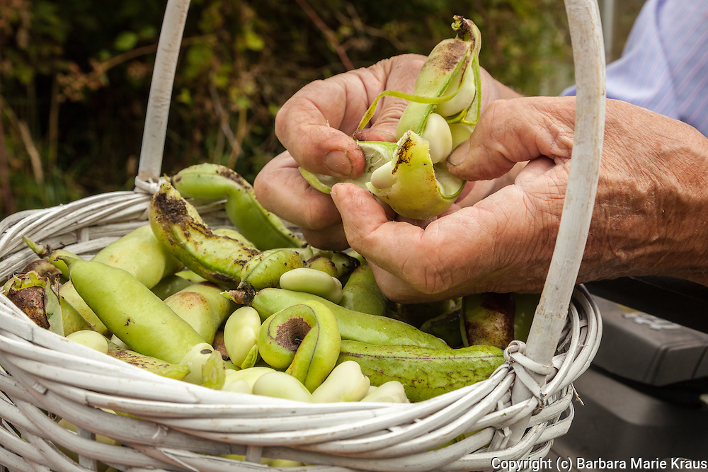 A gardener shells fava beans over a basket of beans.
