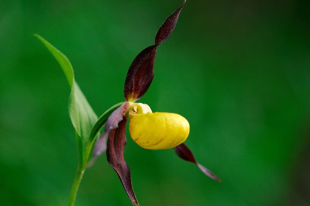 France, Languedoc Roussillon, Lozère (48), Cevennes, Causse Mejean, fleur de Sabot de Venus, N.L.: Cypripedium calceolus, (Orchidacées)