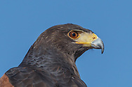 "Harris's hawk portrait against blue sky, showing copper colored eye, hard eye ridge, extensive yellow cere, and hooked beak with a ""tooth"" on the upper side, © 2012 David A. Ponton"