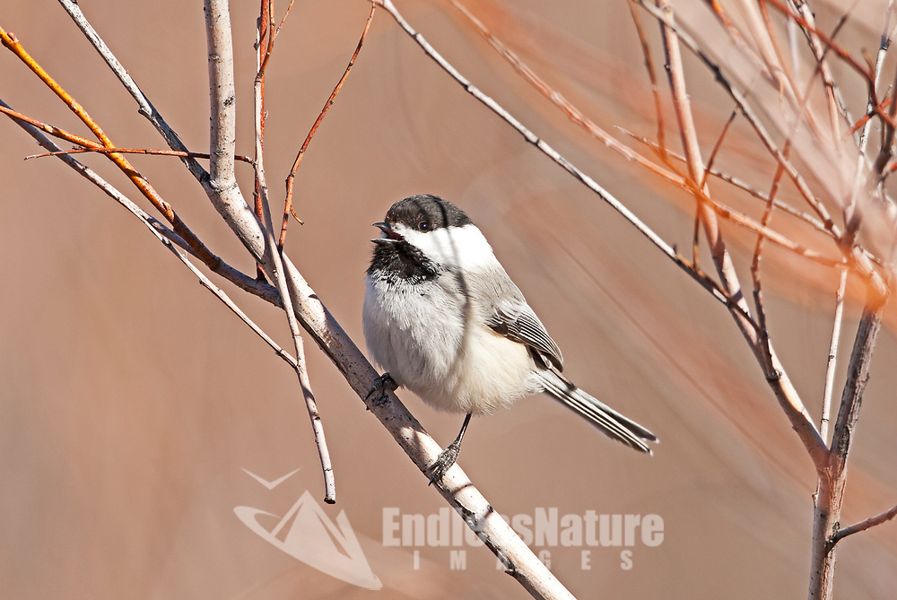 Early in February a Black Capped Chickadee sings to another chickadee across the field.