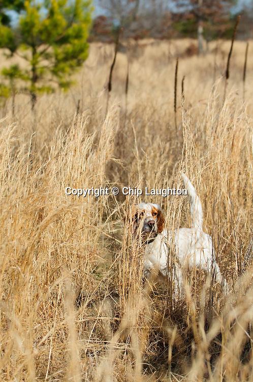 Pointing dog stock image photo