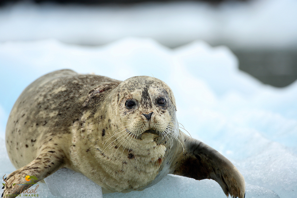 Harbor Seal entering water from glacier ice