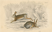 The Hare (Lepus europaeus), rodent which lives above ground, unlike its burrowing cousin the Rabbit.    From 'British Quadrupeds', W MacGillivray, (Edinburgh, 1828), one of the volumes in William Jardine's Naturalist's Library series. Hand-coloured engraving.