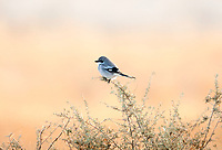 A Loggerhead Shrike perched on top of sagebrush on a December afternoon sagebrush is about three feet tall and gives this bird a great view of the insects on the ground.