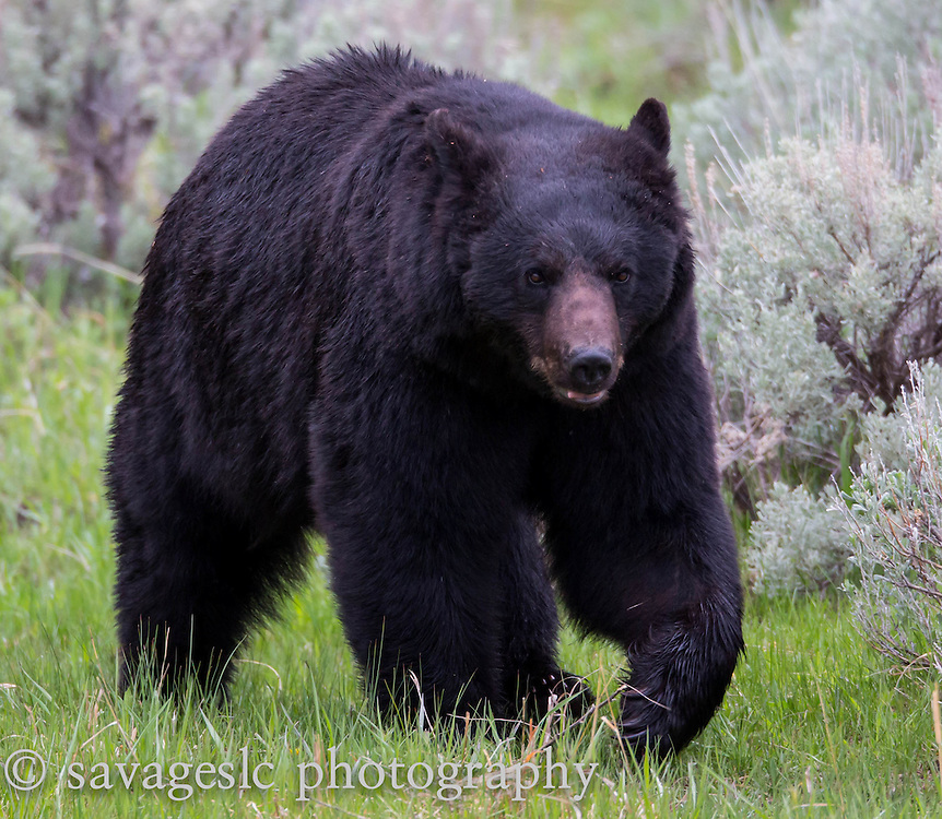 A large black bear boar on the move. Yellowstone National Park  May 2013
