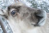 Reinsdyr - Reindeers