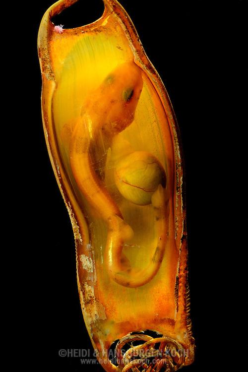 """Greater spotted dogfish, Scyliorhinus stellaris, inside a egg capsule, yolk sac still visible. If the yolk sac consumed, the shark hatches. The egg capsule of the dogfish is 10*3,5 cm, young sharks 16 cm. At all four ends the capsule has strings, to fix the eggs near the ground at mussel banks, seaweed or algae. Sharks hatching after in 8-10 month, depending on water temperature. Distribution: North Atlantic, Mediterranean Sea, Southern Scandinavia, North and Western Africa. This picture is part of the series """"Escape into life""""..Großgefleckter Katzenhai, Scyliorhinus stellaris, in seiner Eikapsel, Dottersack noch sichtbar. Wenn der Dottersack aufgebraucht ist schlüpft der Hai. Die Eikapsel vom Katzenhai ist ca. 10x3.5 cm groß, Jungtiere sind beim Schlüpfen 16 cm lang. An der Kapsel befinden sich an allen vier Ecken Schnüre zum befestigen der Eier in Bodennähe an Miesmuschelbänken, Seegras oder Algen. Je nach Wassertemperatur schlüpfen sie nach 8-10 Monaten. Verbreitung: Nordatlantik, Mittelmeer, Süd-Skandinavien, Nord- und Westafrika. Diese Bild ist Teil der Serie ,,Ausbruch ins Leben""""."""