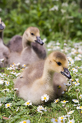 A couple of ducklings,