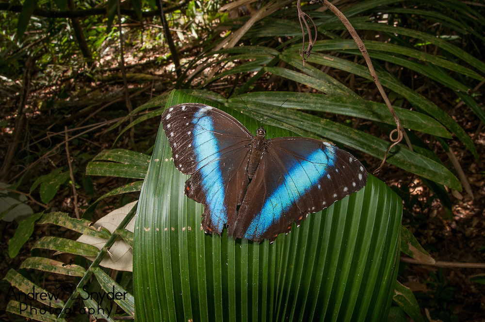 Blue morpho (Morpho menelaus spp.) butterfly in Kusad Mountain, Guyana.