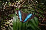 Blue morpho (Morpho menelaus spp.) butterfly in Kusad Mountain, Guyana.