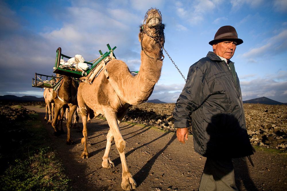 Camellos que transportan a los turistas regresando por la tarde hacia la población de Uga. parque nacional de Timanfaya. Isla de Lanzarote.
