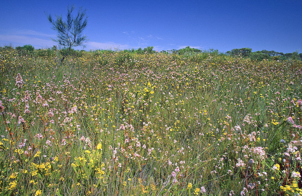 Wildflowers in a meadow, Royal National Park, Australia.