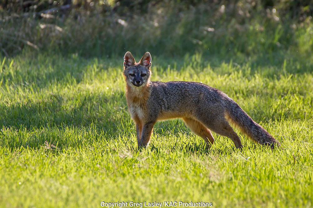 Gray Fox<br /> Urocyon cinereoargenteus<br /> Dripping Springs,<br /> Hays Co., Texas<br /> 3 June 2013