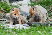 Two fox cub siblings staring each other down while play fighting in Hokkaido, Japan