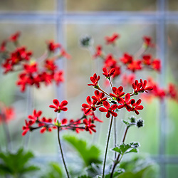 Pelargonium 'Ardens' AGM syn. Pelargonium × ardens on a windowsill