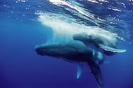 Vava'u, Tonga, Humpback whale mother and calf on surface
