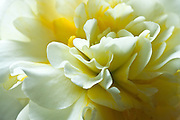 I like the glimpses of golden yellow tucked away among the white petals.