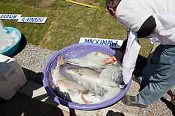 """Jake's on the Lake Fishing Derby Mackinaw"" - Photograph of the winning Mackinaw fish at the 2012 Jake's on the Lake fishing derby."