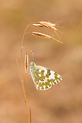 Bath White (Pontia daplidice) Butterfly  shot in Israel, in May