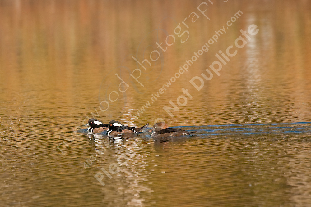 I was out for a walk at Carburn Park and was very surprised to see a pair of Hooded Mergansers.  I stopped to watch and found several more amongst the mass of birds swimming in the lake.  These brids are very rare for Calgary and they really only stop here during the spring and fall migration, so it was pretty cool to see them today!..©2009, Sean Phillips.http://www.Sean-Phillips.com