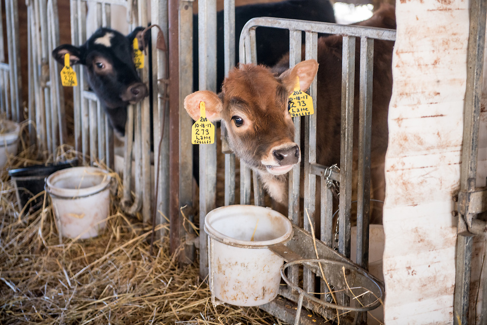 Two young calves stick their heads out of gate out of curiosity,  Taneytown, Maryland