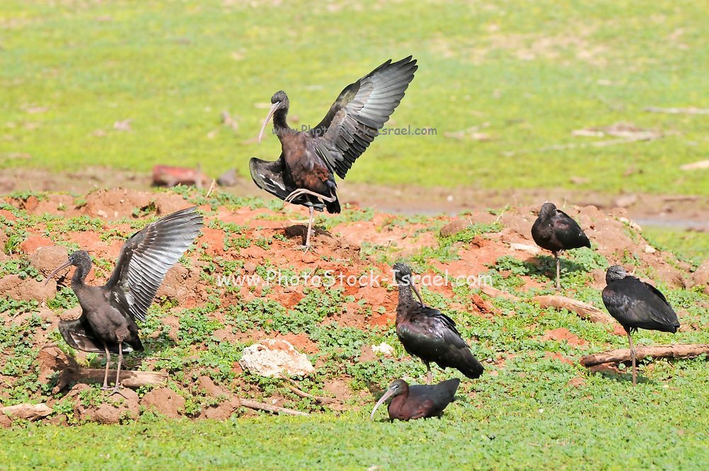 Glossy Ibis (Plegadis falcinellus) on the ground photographed in Israel in February