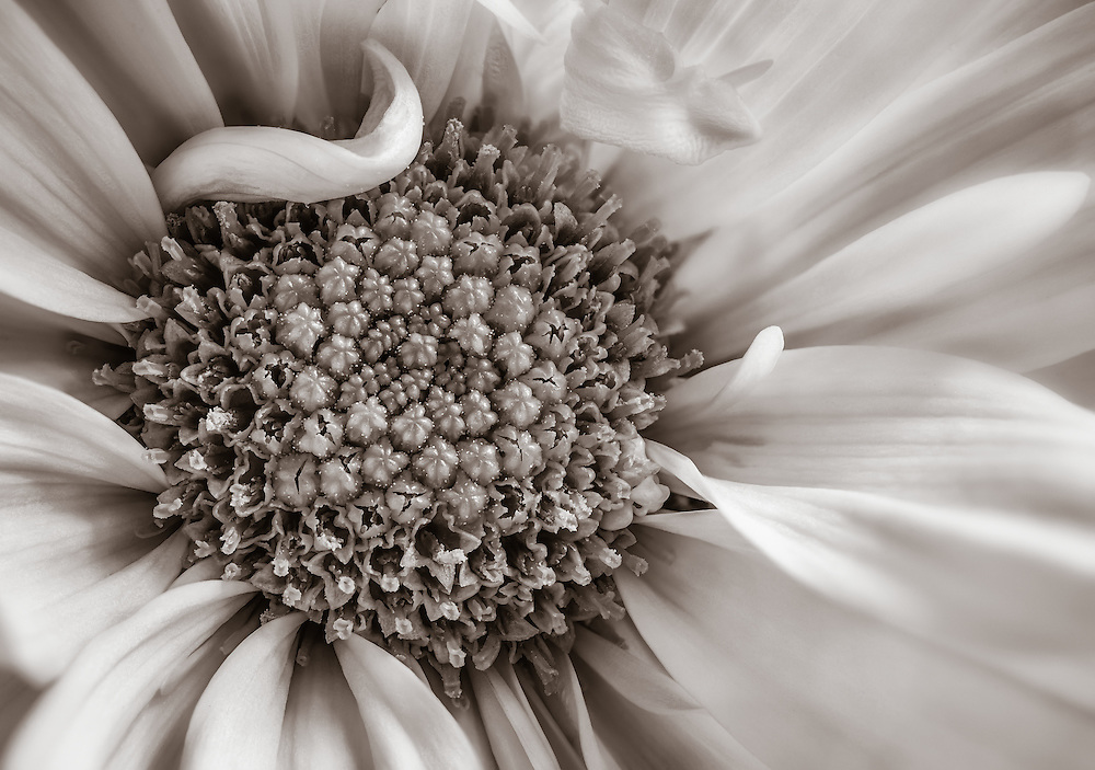 Close up of a monochrom daisy flower.