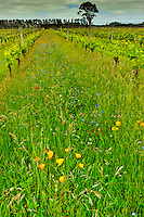 Wildflowers growing between the rows of vines, Martinborough Vineyard, Martinborough, South Wairapa region, North Island, New Zealand