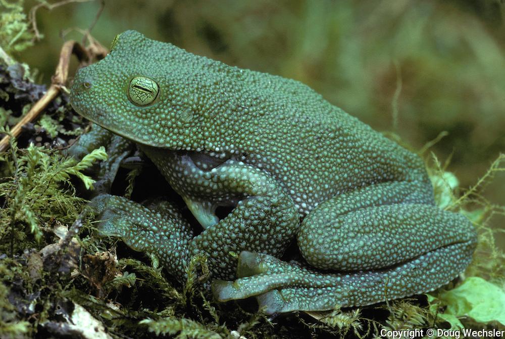 Pacific Giant Glass Frog; Centrolene geckoideum; Ecuador, Prov. Carchi 2,550 m. 24 July 1988