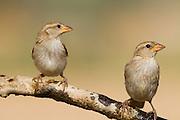 House Sparrow (Passer domesticus biblicus) 2 juveniles on a branch, negev desert, israel