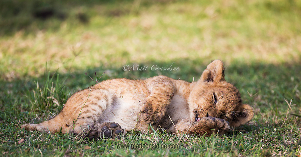 Little lion cub grooming itself like a domestic cat licking and washing its paws in the Masai Mara Reserve, Kenya, Africa (photo by Wildlife Photographer Matt Considine)