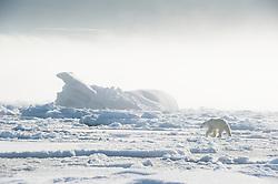 Polar bear (Ursus maritimus) in Svalbard