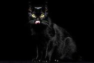 Bombay Cat (Felis silvestris catus). The Bombay cat is a domestic cat, and a cross between a Burmese cat and American Shorthair. The aim of American breeder Nikki Horner was to breed a cat that has the appearance of a small black panther. The fur of the Bombay cat is black tinted to the hair roots and gleams like varnish. It is the rarest breed in Europe. In superstition black cats are since medieval times as a bringer of evil. They have been associated with evil forces and witchcraft. The human psyche reacts still on the black color. Black pets are kept less than animals with bright colors. The black stain in the animal kingdom is known as melanism. It is a dark pigmentation of hair, skin or scales by melanins. Photographed at a breeder in Bielefeld. /Bombay Cat (Felis silvestris catus). Die Bombay Katze ist eine Hauskatze, und eine Kreuzung zwischen Burma-Katze und American Shorthair. Das Ziel der amerikanischen Zuechterin Nikki Horner war es, eine Katze zu zuechten, die das Aussehen eines kleinen Schwarzen Panther hat. Das Fell der Bombay Katze ist bis zu den Haarwurzeln schwarz durchgefaerbt und glaenzt lackartig. Es ist die seltenste Katzenrasse in Europa. Im Aberglauben gelten schwarze Katzen seit dem Mittelalter als Unheilbringer. Sie wurden mit boesen Maechten und Hexerei in Verbindung gebracht. Die Psyche des Mensche reagiert auch heute noch auf die schwarze Farbe. Schwarze Haustiere werden weniger gehalten, als Tiere mit hellen Farben. Die schwarze Faerbung im Tierreich bezeichnet man als Melanismus. Es ist eine dunkle Pigmentierung von Haaren, Haut oder Schuppen durch Melanine. Fotografiert bei einer Zuechterin in Bielefeld.