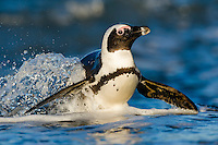 African Penguin emerging from the water, Bettys Bay, Western Cape, South Africa