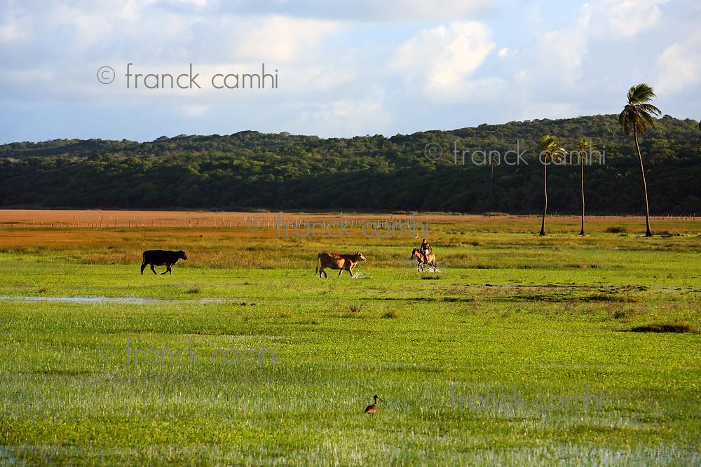 cows rice plantation field in bahia state brazil