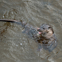 Otter Feeds in River Tay