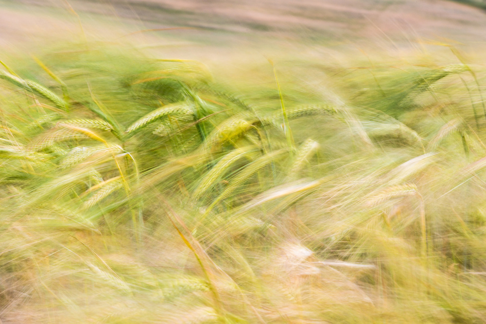 A field of Barley moving in the wind