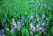 Camas in wet meadow. St. Joe River Valley, north Idaho.
