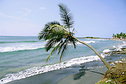 isolated palm tree along coastline, kerala, india
