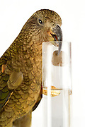 [captive] In this experiment, the Kea (Nestor notabilis) is presented three tubes filled with water, large or small stones. The Kea learns to drop stones into the tube filled with water until the water level has risen high enough for the Kea to pick up a nut. The picture was taken in cooperation with the University of Vienna (UniVie) and University of Veterinary Medicine Vienna (VetMed). Sequence 8/16. | In diesem Experiment werden dem Kea (Nestor notabilis) drei Röhrchen präsentiert, die entweder mit Wasser, kleinen oder großen Steinchen gefüllt sind. Der Kea wirft gezielt Steine in die Säule mit Wasser, bis die darin befindliche Nuss hoch genug schwimmt, um vom Kea erreicht zu werden. Das Bild wurde in Zusammenarbeit mit der Veterinärmedizinischen Universität Wien und der Universität Wien erstellt. Sequenz 8/16.