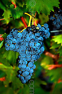 Copyright JIm Rice ©2013.RED WINE GRAPES.HUNTER VALLEY..AUSTRALIA